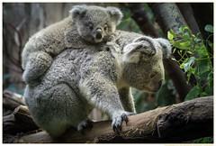 Mamataxi-Zoo-Duisburg-20151212 (gosammy1971) Tags: photography zoo tiere flickr foto koala australien tierpark duisburg zooduisburg artenschutz beutelbär aschrgauer