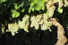 Weinstock (CharlyBelnde81) Tags: canon natur landschaft riesling wein weinberg trauben weinstock nahe