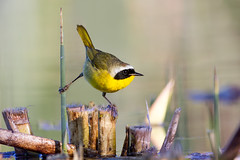 Common Yellowthroat (Patricia Ware) Tags: canon iso800 f45 handheld playadelrey commonyellowthroat geothlypistrichas ballonawetlands caliornia specanimal 11600sec 2015patriciawareallrightsreserved httppwarezenfoliocom ef500mmf4lusm