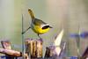 Common Yellowthroat (Patricia Ware) Tags: canon iso800 f45 handheld playadelrey commonyellowthroat geothlypistrichas ballonawetlands caliornia specanimal 11600sec ©2015patriciawareallrightsreserved httppwarezenfoliocom ef500mmf4lusm