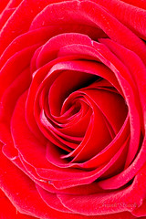 Rote Rose (strack_frank) Tags: flower macro rot rose pflanze samsung blumen nx bltenblatt