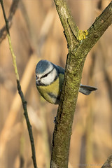 Blue tit (Beardy Git) Tags: uk blue bird tit telephoto cambs whittlesey canoneos7dmarkii kingsdykenaturereserve ef100400mmf4556lisiiusm14xiii