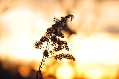 an ending and a beginning (christiaan_25) Tags: light sky sun sunlight flower sunshine silhouette yellow gold glow bright goldenrod newyear explore wish 371 greeting seedheads 348 dec312015 jan12016