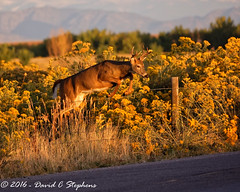 Young Buck Jumps Fence at Sunrise (dcstep) Tags: aurora colorado unitedstates us f4a7357dxo cherrycreekstatepark allrightsreserved copyright2016davidcstephens dxoopticspro111 nature urban urbannature sanctuary naturesanctuary deer whitetaildeer fence jumping jumpingfence morning canon5dsr buck youngbuck ef70200mmf4lis 8point 4x4