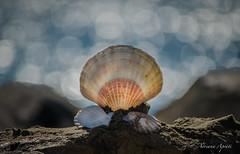 27 settembre 2016. Pecten, la conchiglia di Venere (adrianaaprati) Tags: mare sea shell conchiglia coquille schale bokeh mer meer calma allaperto sfocato blur pecten venere afrodite