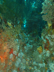 scilly magnificence (richie rocket) Tags: scillies seasearch scillyisles cornwall uk underwater scuba diving