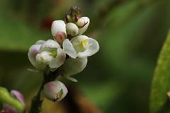 Polygala senega var. latifol     (ashitaka-f studio k2) Tags: flower white polygala senega latifol   polygalaceae