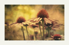 parfum d'automne (A scent of autumn) (patrice ouellet) Tags: patricephotographiste autumn automne fall gardenflower scent parfumdautomne odeurs