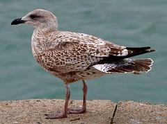 Young Herring Gull (rustyruth1959) Tags: nikon nikond3200 tamron16300mm cornwall padstow herringgull gull seagull bird animal beak feathers legs feet brown wall coast harbour sea eye tail