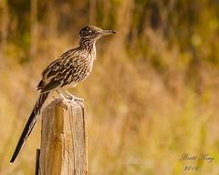 Roadrunner -posing - not running (dbking2162) Tags: wildlife nature animal birds bird roadrunner outside newmexico fencepost