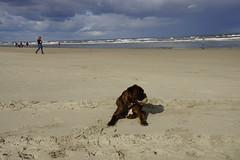 Boxer Marly op het strand van Ameland Nederland (marcelwijers) Tags: boxer marly op het strand van ameland nederland beach the netherlands