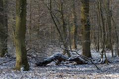ckuchem-7673 (christine_kuchem) Tags: asthaufen baumstamm eis forst frost haufen holz staatsforst stmme tiere unterschlupf wald wasser wildnis winter winterschlaf winterwald gefroren gewsser kalt naturnah reif schnee wild ste