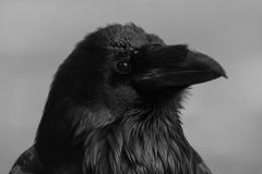 Happy Halloween (Luis-Gaspar-less-active) Tags: animal bird passaro ave corvo raven commonraven corvuscorax portrait face retrato mono monochrome monocromatico pb bw portugal almada parquedapaz nikon d60 55300 f56 130 iso800