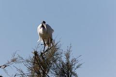Ibis (Le Mhaut Sbastien) Tags: oiseaux camargue pont du gau