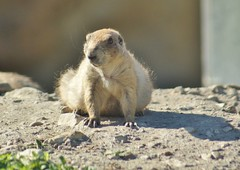 Prairie dog in Opole zoo (nesihonsu) Tags: zoo opole animals mammals piesek preriowy rodent rodentia