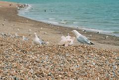 Hastings - 3. Berated () Tags: kodak ektar kodakektar100 canoneos30 elan7e canon film analogue 2016 hastings seaside herringgull gulls beach pebble birds
