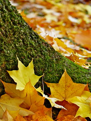 All piled up! (jeansmachines24) Tags: clyne park vertical autumn leaves trunk bokeh 2016
