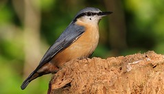 Nuthatch 111016 (1) (Richard Collier - Wildlife and Travel Photography) Tags: naturalhistory wildlife birds british nuthatch ngc