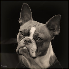 his attention is captured... (marneejill) Tags: boston terrier