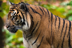 Sumatran Tiger 49 (cypher40k Photography) Tags: bigcat color colour nikon sumatrantiger tiger toronto torontozoo zoo