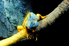 Green iguana of Ueno Zoo :  (Dakiny) Tags: 2016 autmn november japan tokyo taito ueno outdoor nature park uenopark zoo uenozoo creature animal reptiles lizard iguana greeniguana nikon d7000 afsdxnikkor35mmf18g nikonafsdxnikkor35mmf18g nikonclubit