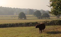 Rural Kent Countryside (Adam Swaine) Tags: cows england english countryside counties landscapes animals scotneykent britain british swaine 2016 fields trees hedgerows hedges farming kentishlandscapes kent kentweald canon