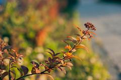 (gwilwering) Tags: backlight closeup dof foliage green leaf leaves nature outdoor sun     tyumen siberia   sonya350