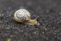 Sunday drivers, eh? (The Mad Macrographer) Tags: hss snailsaturday dof bokeh canon7d canonef100mmf28lmacroisusm peterborough uk outdoors macro redmilewalk nikkvalentine snail tarmac trichiastriolata strawberrysnail