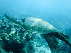 gliding (Ben McLeod) Tags: greenturtle hawaii maui pacificocean ocean seaturtle snorkeling underwater