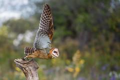 Lift off (Jen St. Louis) Tags: barnowl inflight owl simcoe ontario canada bokeh canadianraptorconservancy captive owls raptor nikond750 nikon70200mmf28 jenstlouisphotography wwwjenstlouisphotographycom birdsofprey bird