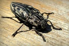 Златка велика соснова (Chalcophora mariana) (Gansucha) Tags: chalcophora coleoptera buprestidae