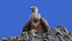 Grifone - Vulture (Gyps fulvus) (Michele Fadda (Shots in Time)) Tags: canoneos70d sigma150500mmf563dgoshsmapo sardinia sardegna italy grifone gypsfulvus avvoltoio vulture inliberta volatile bird uccello nature natura free avifauna faunaprotetta photoscape
