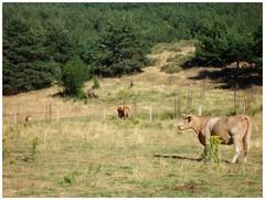 Ganado suelto .. (margabel2010) Tags: animales bvidos bovinos vacas mamferos pastos sierra sierras vallas conferas rboles airelibre paisajes guadarrama cercados