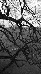 Tilia x vulgaris (arborist.ch) Tags: arboriculture arborist baumpflege baum treecare baumklettern tree treeclimbing tilia