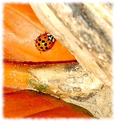 The multicolored Asian lady beetle is 1/3 inch in length; dome-shaped; yellowish-orange to red with variable black spots on the back. Deep orange is the most common color. The 19 black spots may be faint or missing. There is a black W shaped mark on the (Rene' Slack) Tags: macromondays beatlesbeetles slackadventure shiraz