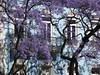 Lisbon, Portugal (ashabot) Tags: blue purple blossoms trees beauty nature lisbon portugal shadows walls tree blossom afternoon
