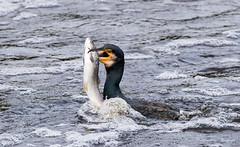 Cormorant (steven waddingham) Tags: bird wild river nature sea fish trout
