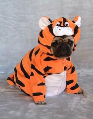 Boo The Tiger Pug (DaPuglet) Tags: pug pugs dog dogs puppy puppies pet pets animal animals tiger tigger cute halloween costume