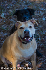Bear and Magic 1 (venusnep) Tags: sandycreekpark sandy creek park athensga athens ga georgia privatedogpark private dog dogpark g pack gpack dogs pets funday november 2016 nikond610 nikon d610