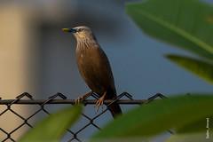 _DSC3003 (selim.ahmed) Tags: birds bangladesh uttora uttara dhaka smallbirds