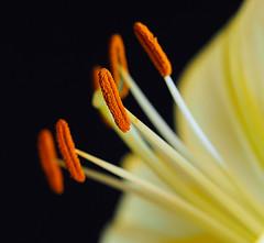 Lily (PrunellaCara) Tags: macro closeup lily yellow nature flower stamens orange