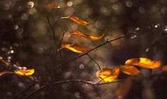 magical autumn (gian_tg) Tags: backlit backlighting bubblebokeh magical gold goldenleaves autumnleaves flickrfriday