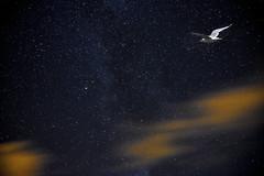 Jonathan.jpg (o.penet) Tags: elements nuits voielacte milkyway honfleur normandy seagull oiseaux birds golands astronomy etoiles stars new dreams rves