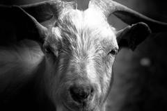 simply goat (fabio secchiaroli) Tags: bw blackwhite goat capra fattoria gloom