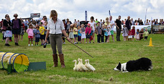 Herding baby ducklings (littlestschnauzer) Tags: emley show agricultural countryside country uk west yorkshire england british summer 2016 herding dog dogs sheep ducklings cute fun clever working august tunnel directing collie