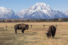 untitled-1 (eenerf) Tags: grandtetons yellowstonepark nationalpark naturalbeauty nature bison