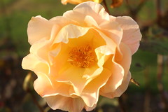 Frilly Rose Flower, Singleton Park (WilliamWWD) Tags: 2016 autumn canon eos 700d rose flower frill closeup
