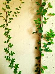 Wall Plant (Trenton Hartley) Tags: wall walls plant plants ivy wallplant wallplants stucco building buildings architecture residential home house garden gardens gardening shadow sunlight vine vines vineyard leaf leaves nature natural beautiful pretty italy italian photography