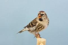 Sizern nordico (aviarioabellan) Tags: fauna europea clsica