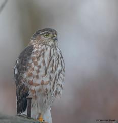 Patience (Summerside90) Tags: birds birdwatcher hawks sharpshinnedhawk november fall autumn backyard garden nature wildlife ontario canada